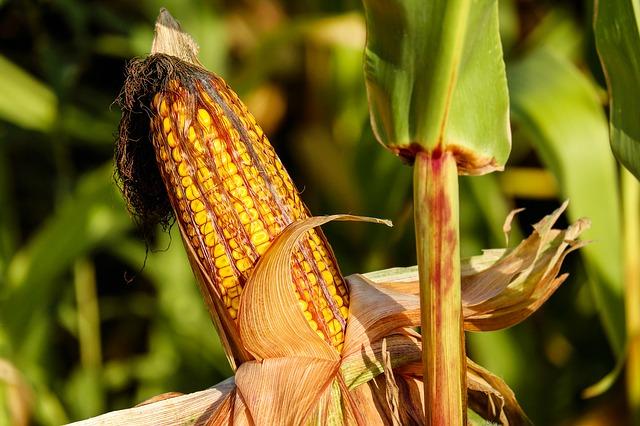 Рекордные 66,4 миллиона тонн зерновых, намолотили Украинские аграрии