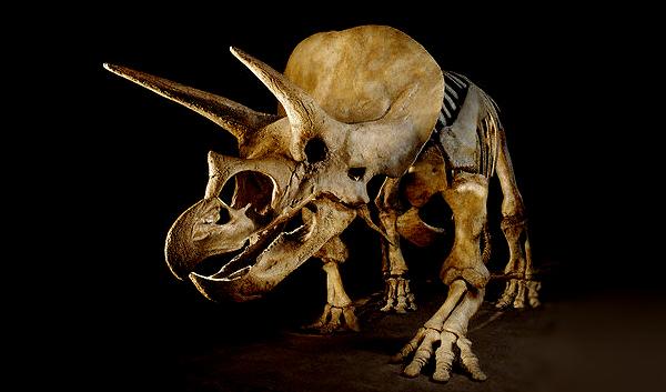 WP: в США студент во время раскопок обнаружил череп трицератопса возрастом 65 млн лет